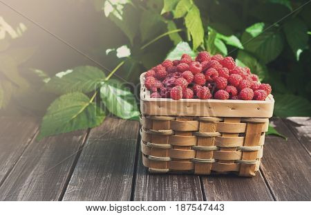 Basket full of raspberries stay on wooden table outdoors at raspberry bush with green leaves background. Summer harvest of berries