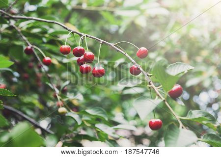 Red cherries tree branch closeup, fruits in summer garden. Growing harvest at farm. Selective focus