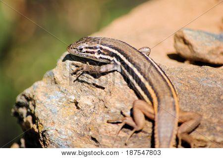 Brown white-black striped lizard on a rock