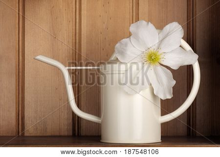 Stunning white clematis in a watering can on a wooden shelf.