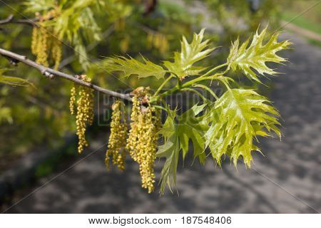 Young Leaves And Catkins Of Northern Red Oak