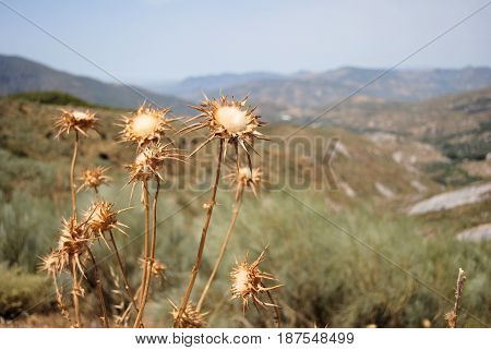 dead thistles against a background of spanish mountians