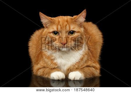 Ginger Cat with white paws Lying and sad looking in camera isolated black background, front view