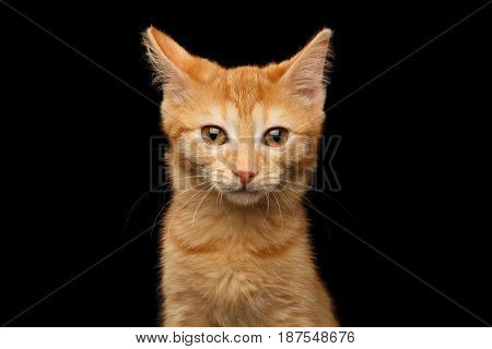 Portrait of Ginger kitten gazing in camera, isolated black background, front view