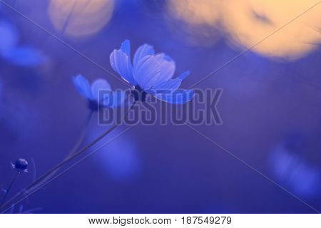 Delicate cosmos flower on a beautiful blue background