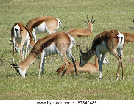 SPRINGBOK GRAZING, FROM KOEBERG NATURE RESERVE, CAPE TOWN SOUTH AFRICA 19cocj