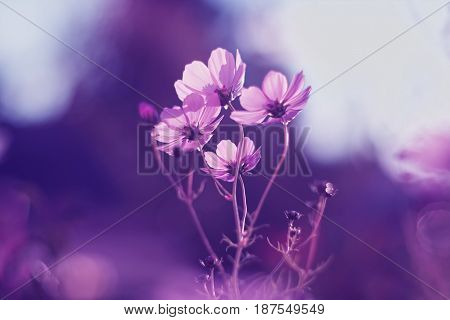 Delicate pink cosmos flower on a purple background