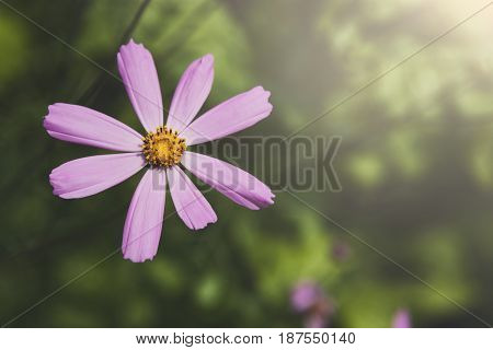 Mexican Aster pink flower or Garden Cosmos, closeup at green background. Its Latin name is Cosmos Bipinnatus Radiance, native to Mexico. Popular annual plant cosmea.