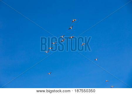 Flamingo Flying, Natural Park Of Sajama (bolivia)