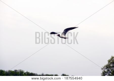 Seagull flying over river on the gray sky background