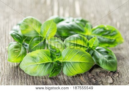 Green basil herbs on the old wooden table.