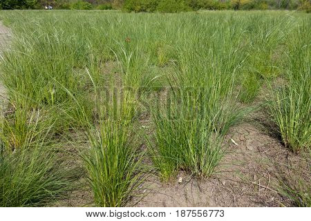 Meadow Covered With Spear Grass In Spring