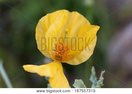Flower of the yellow hornpoppy (Glaucium flavum)