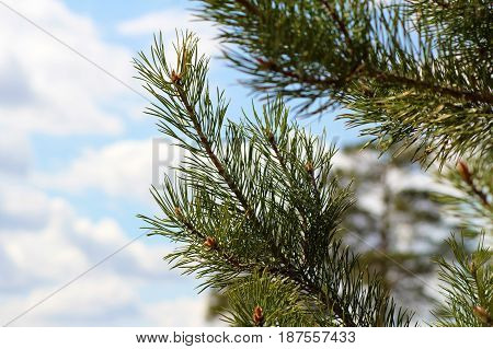 Green branches of a pine with young cones against the blue sky.