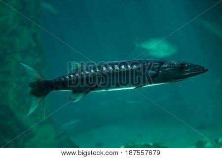 Great barracuda (Sphyraena barracuda), also known as the giant barracuda.
