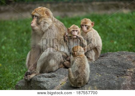 Barbary macaque (Macaca sylvanus), also known as the maggot.
