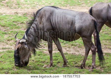 Blue wildebeests (Connochaetes taurinus taurinus), also known as the brindled gnu.