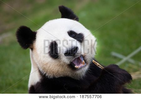 Giant panda (Ailuropoda melanoleuca). Wildlife animal.
