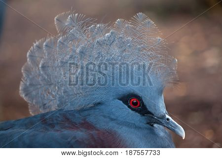 Western crowned pigeon (Goura cristata), also known as the blue crowned pigeon.