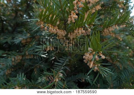 Flowering Branches Of European Yew In Spring