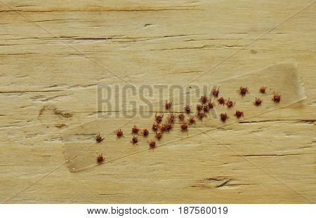 dog ticks stick on transparent adhesive tape to death in wooden background