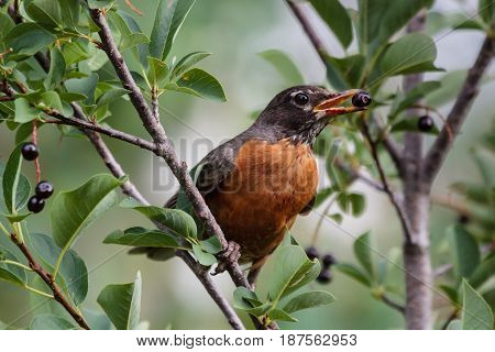Adult Male American Robin Feeding on Choke Cherries