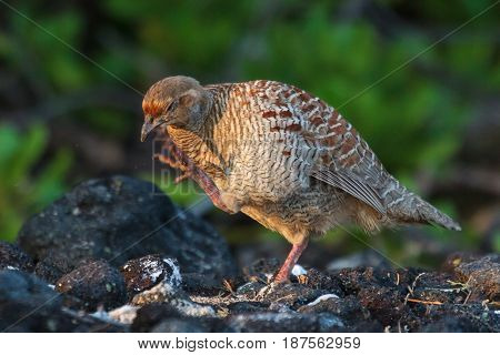 Gray Francolin browsing for food along the lava rock shoreline in Hawaii.