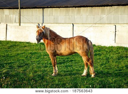 A red horse stands on the green grass. The horse looks at the camera