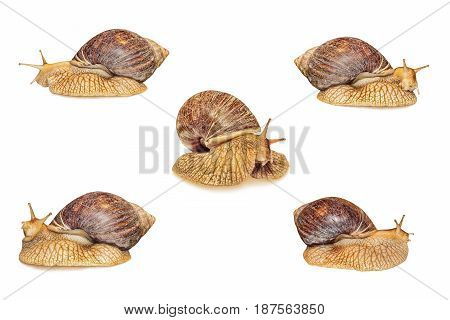 Set of Achatina snail isolated on white background.