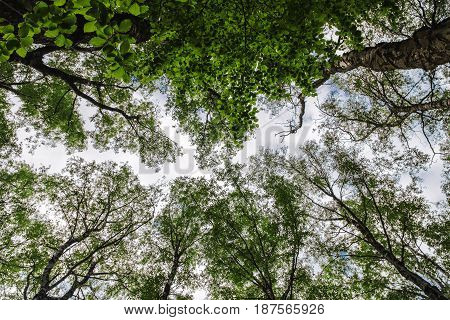 low angle view of top of trees in green forest.
