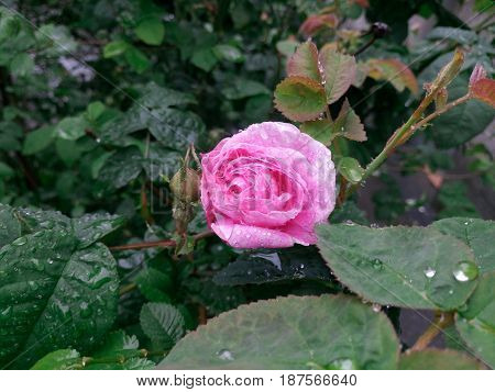 Tender light pink rose after the rain with rain drops in the garden