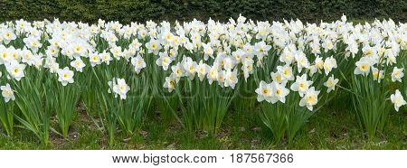 Many blooming daffodils, taken as a panorama