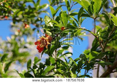 Flowering branches of pomegranate tree. Horizontal. Close-up