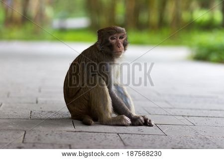 Rhesus macaque sits on a stone path