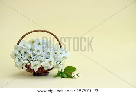 A small spring bouquet in a basket. Cherry blossoms. Close-up. Spring. Card. Blooming cherry.