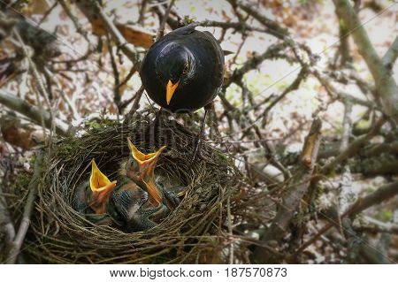 The Blackbird mother at a nest with hungry baby birds.