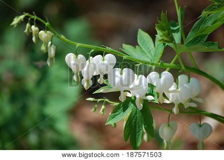 Blooming white bleeding heart plant with blossoms.