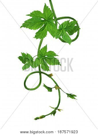 Branch of a young hop with leaves isolated on a white background without a shadow. Brewing. Ingredient. Herbal medicine. Close-up .