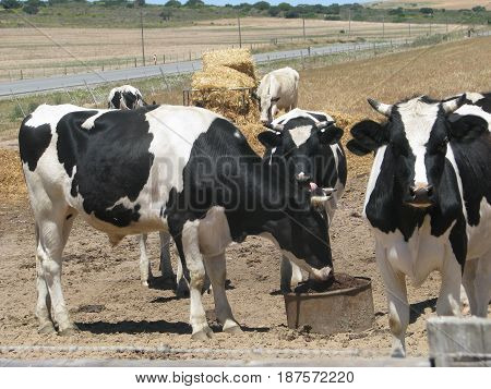 FROM WESTERN CAPE, SOUTH AFRICA, CATTLE GRAZING 23lklk