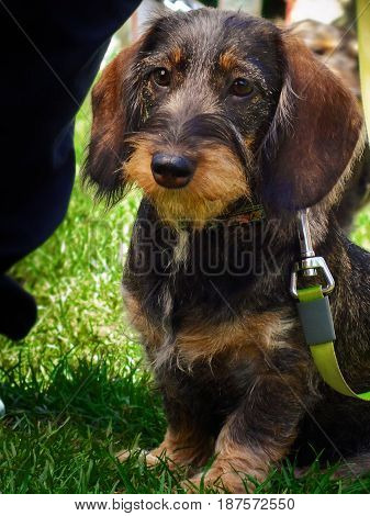 Wirehaired dachshund. Wildboar doxie. Nature. Animas. Dogs.