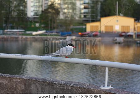 A Tern sitting on a rail and watching the sea.