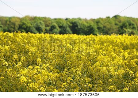 Canola field forest background. Beautiful yellow flower.