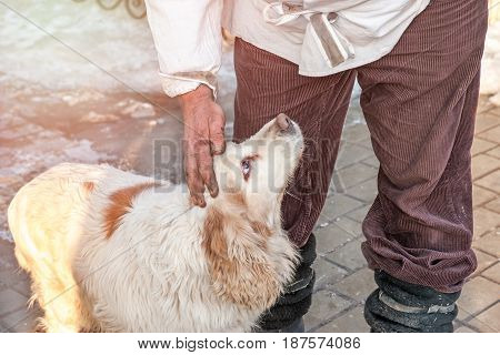 The hand of The owner stroking and caressing a large white dog with brown spots and big brown eyes.
