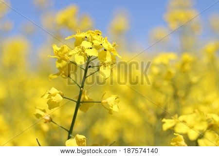 Canola flower closeup field background. Natural bio fuel