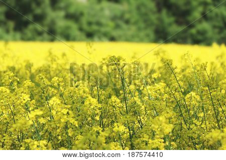 Growing canola field forest . Beautiful yellow plant on sunny day