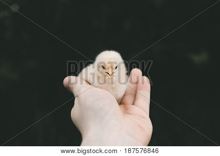 Little Chick In The Hand Of Man. A White Chick.