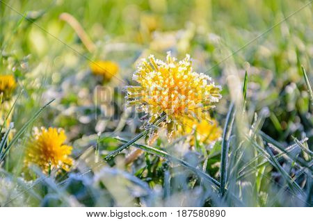 Frozen Flowers of a dandelion in the morning frost. Frozen flower at dawn. Nature background