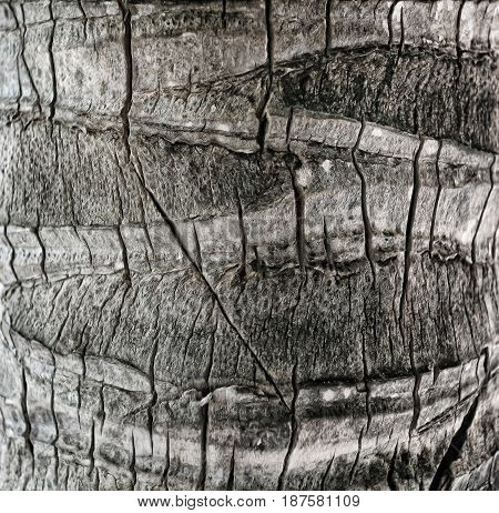 wery old wood texture palm tree close up