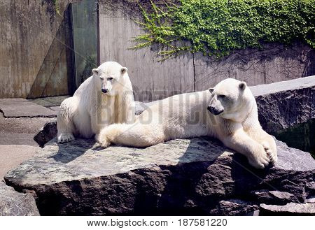 two white seat  bears on the stones
