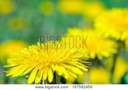 Close-up view of a yellow dandelion flower. Blooming bud of dandelion. Nature background. Taraxacum platycarpum